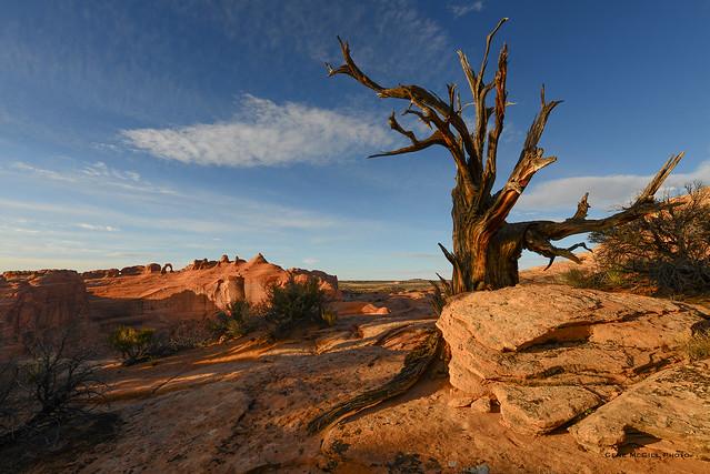 Delicate Arch, Tree