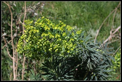 Euphorbia characias - Page 2 33866261801_356eeefd34