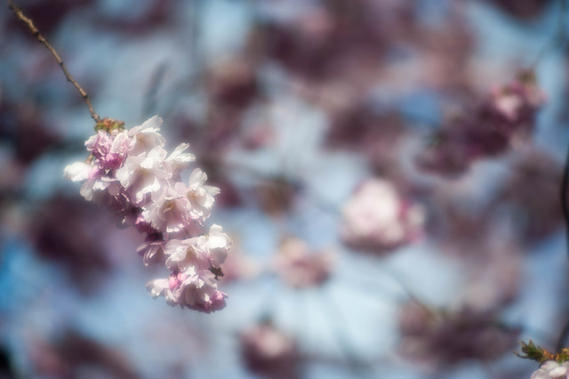 Soft cherry blossoms / Soft sakura 1