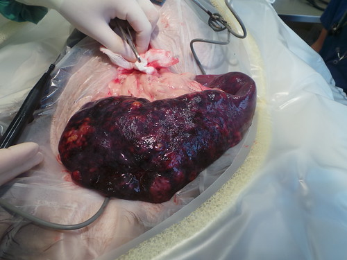 Splenic tumour | by Rayya The Vet