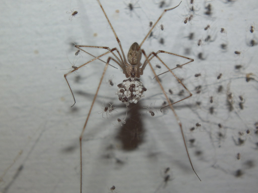These Skin-Crawling Facts About Daddy Longlegs Will Make You