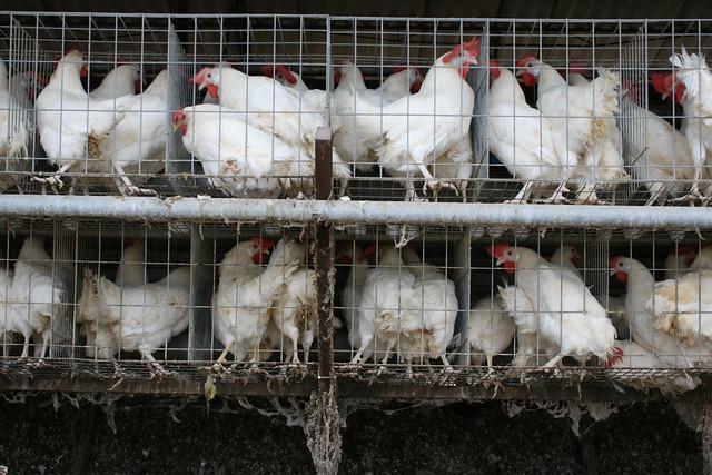 終生關在籠子裡的母雞,無法獲得足夠的關注,動物福利獨尊犬貓。圖片來源:台灣動物社會研究會