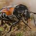 Flower Chafer Scarab Beetle (Cetoniinae)