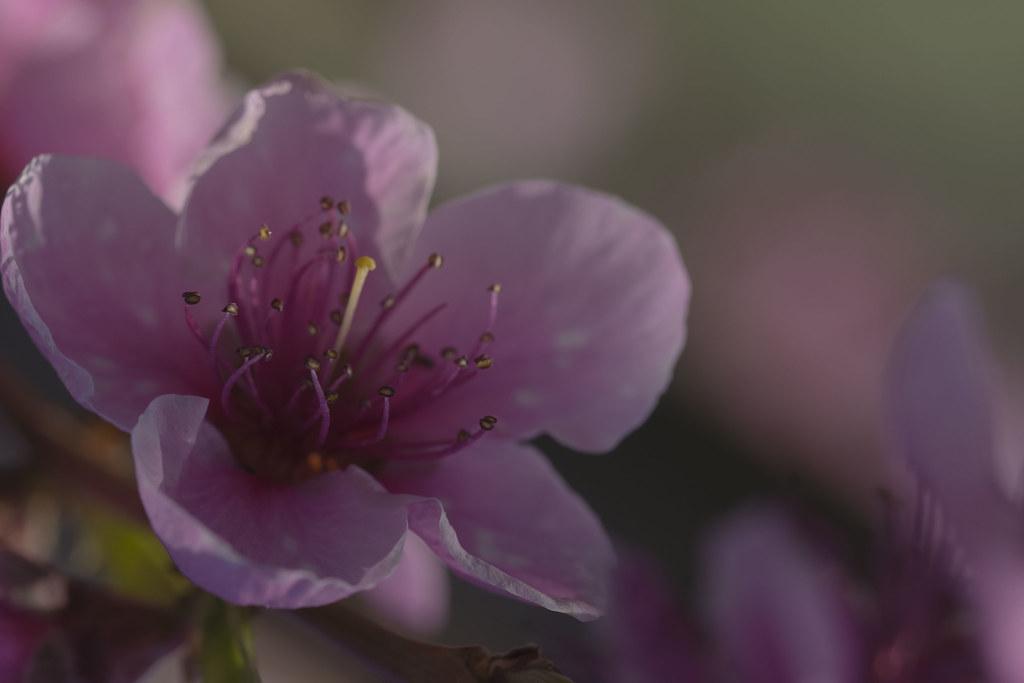 Fleur De Prunier Doriane Boilly Flickr