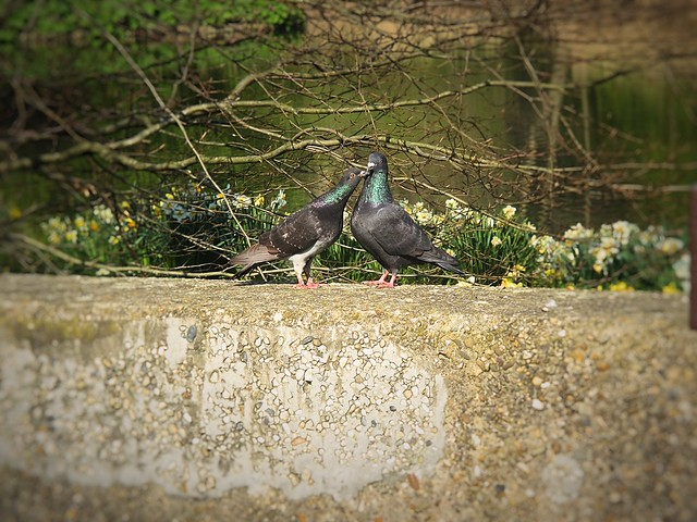 Two pigeons in Amstel Park