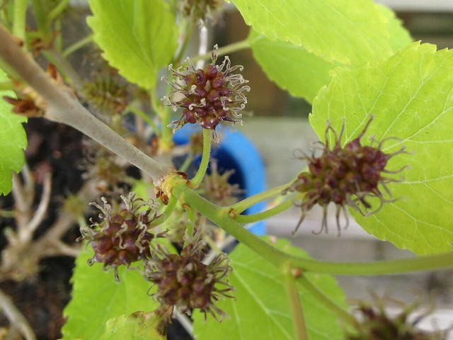 Mulberries forming