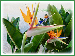 Strelitzia reginae [Crane Flower/Plant, Bird of Paradise, Bird of Paradise flower/plant, Crane-leaved Strelitzia] with its showy crane-like flowers, 14 Aug 2014