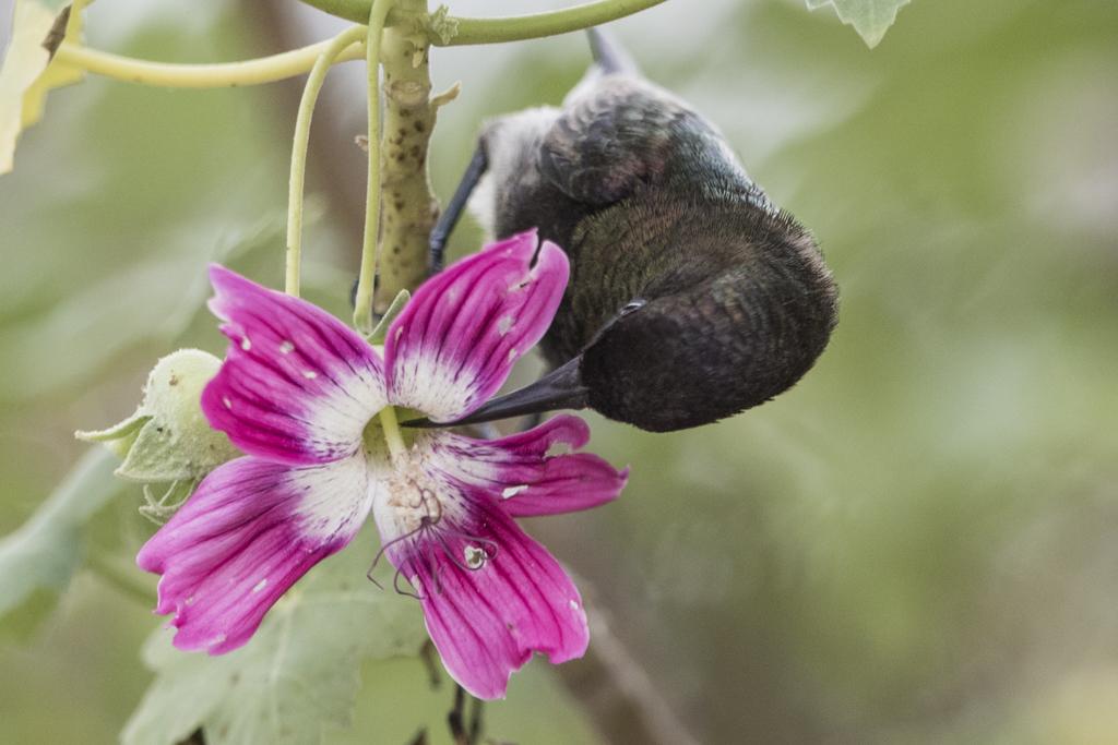 Dusky Sunbird Cinnyris Fuscus