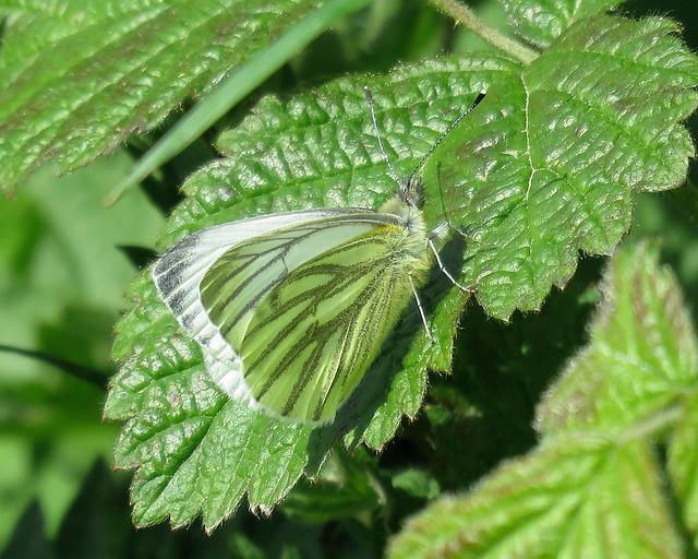 Green-veined White - Pieris napi