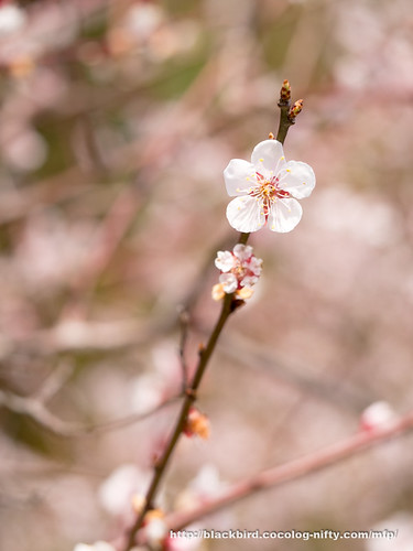 Plum blossoms 20170401 #06