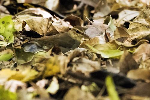 Cuba: Swainson's Warbler