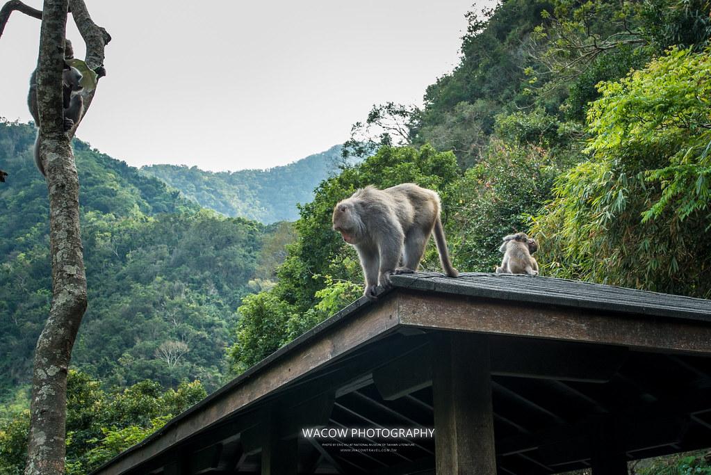台東泰源看猴子2