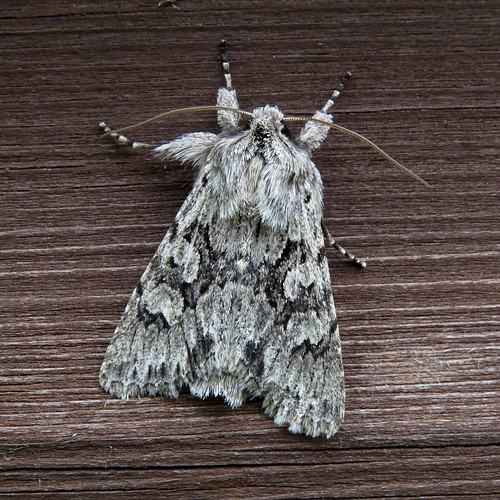 Early Grey Xylocampa areola Tophill Low NR, East Yorkshire April 2017