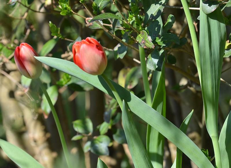 Tulips 01.04 (1)