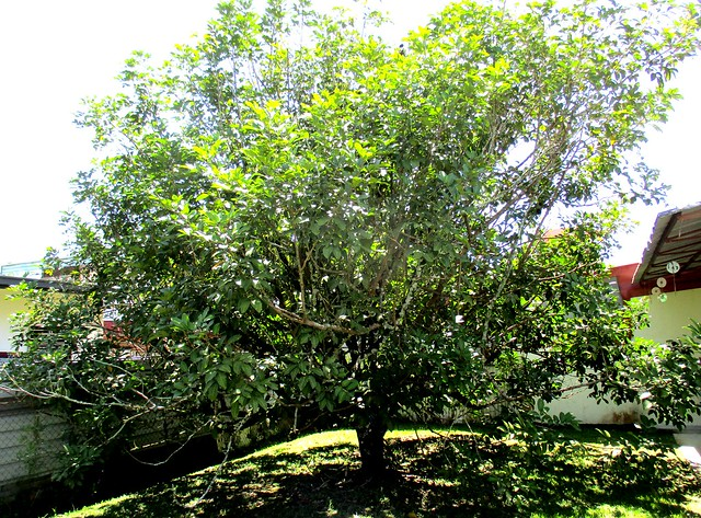 My rambutan tree BEFORE