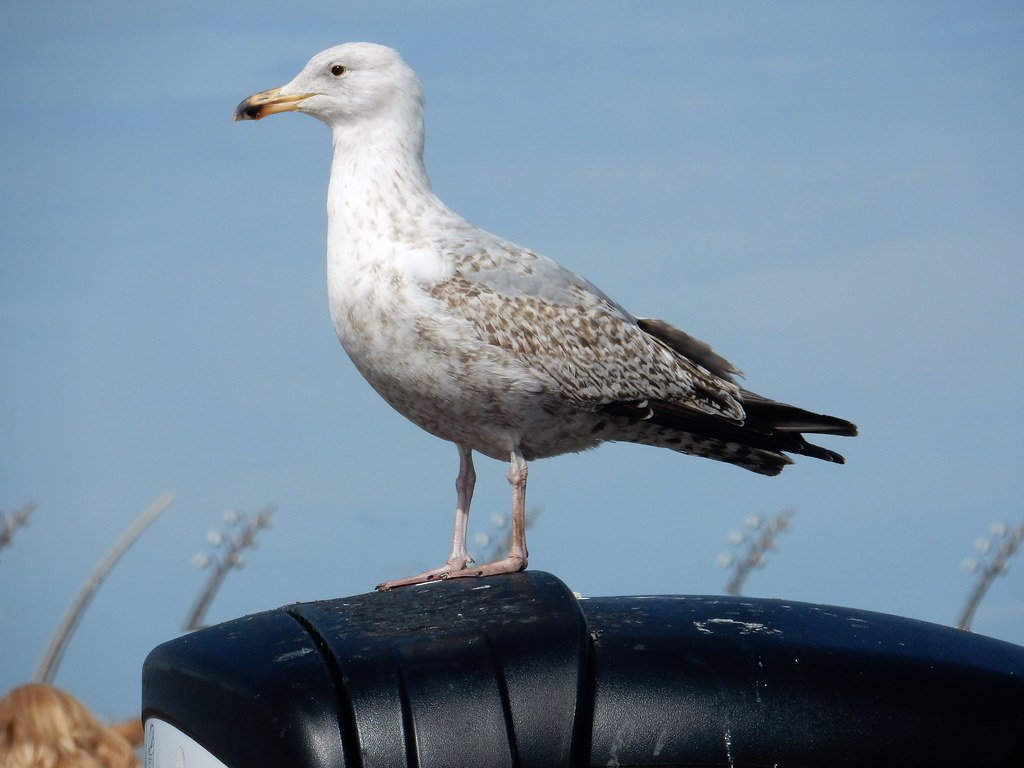 Baby Seagull in Blackpool | deltrems | Flickr