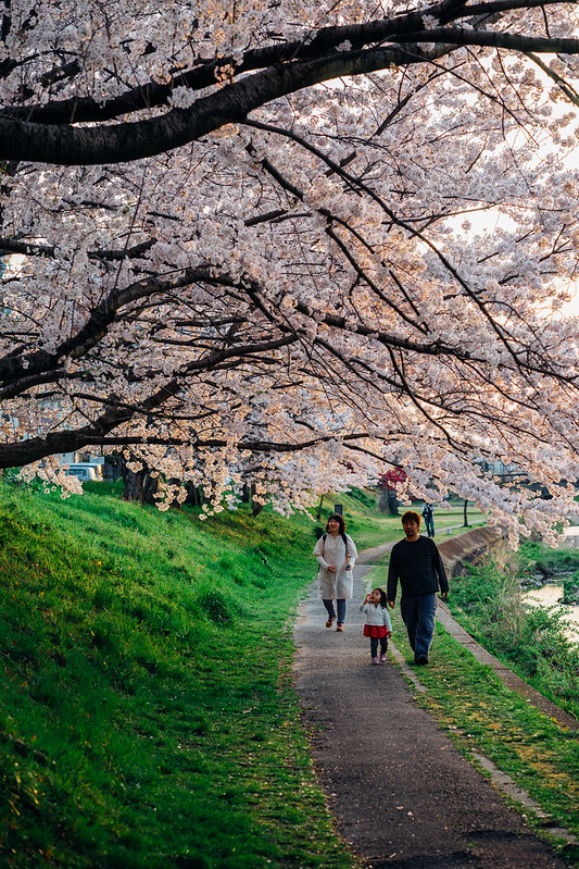 CherryBlossoms_24