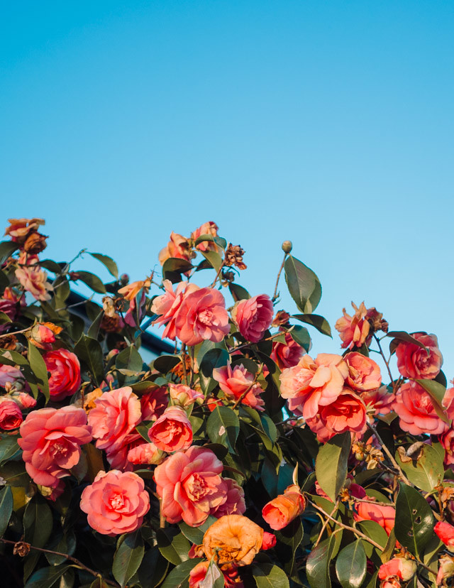 pink rose bush against blue sky