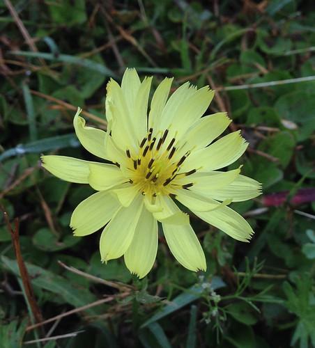 False Dandelion (Pyrrhopappus pauciflorus)