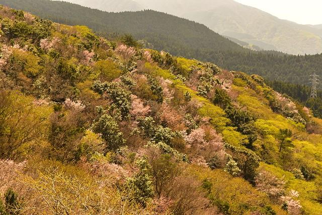 伊豆山稜線歩道の桜風景