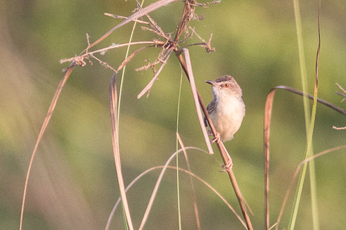 Zitting Cisticola - please confirm ID
