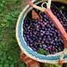 wild harvesting :: concord grapes