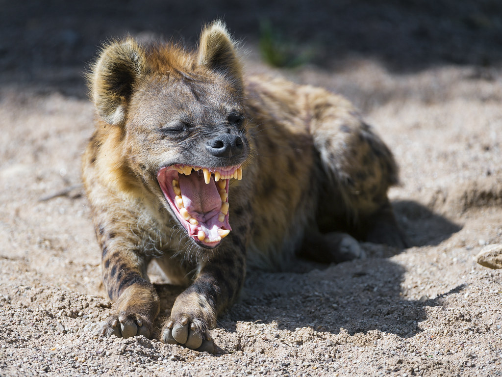 Hyena lying with open mouth | A cool picture of one of the ... - photo#39