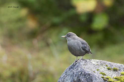 American Dipper | by featherweight2009