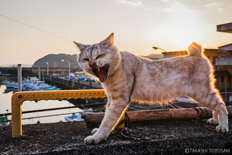 Tokushima Cat Color #254