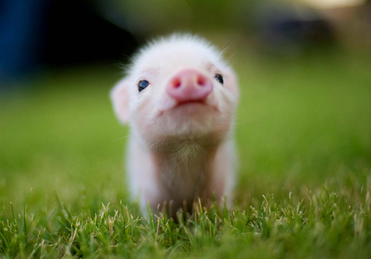 27 Adorable & Tiny Animals That Are Too Cute To Handle #5: Pig
