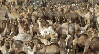 CamelMarket1-08