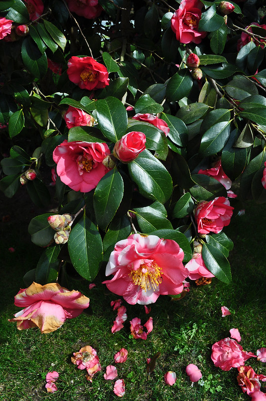 Eyre Hall - Camellia (3)