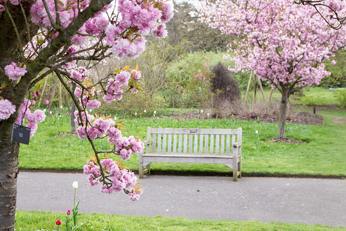 bench with cherry blossoms | by angelatravels11