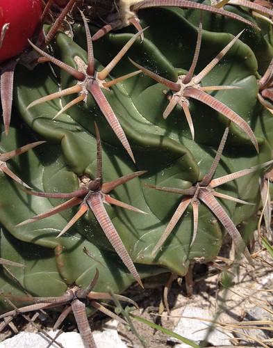 Cactus - Horse Crippler