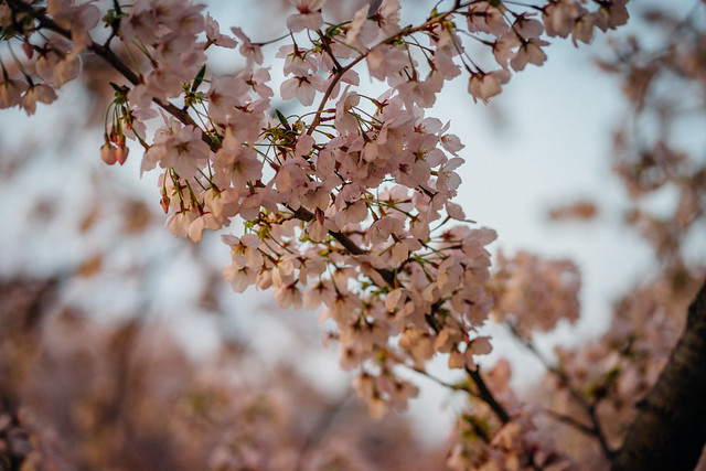CherryBlossoms_23