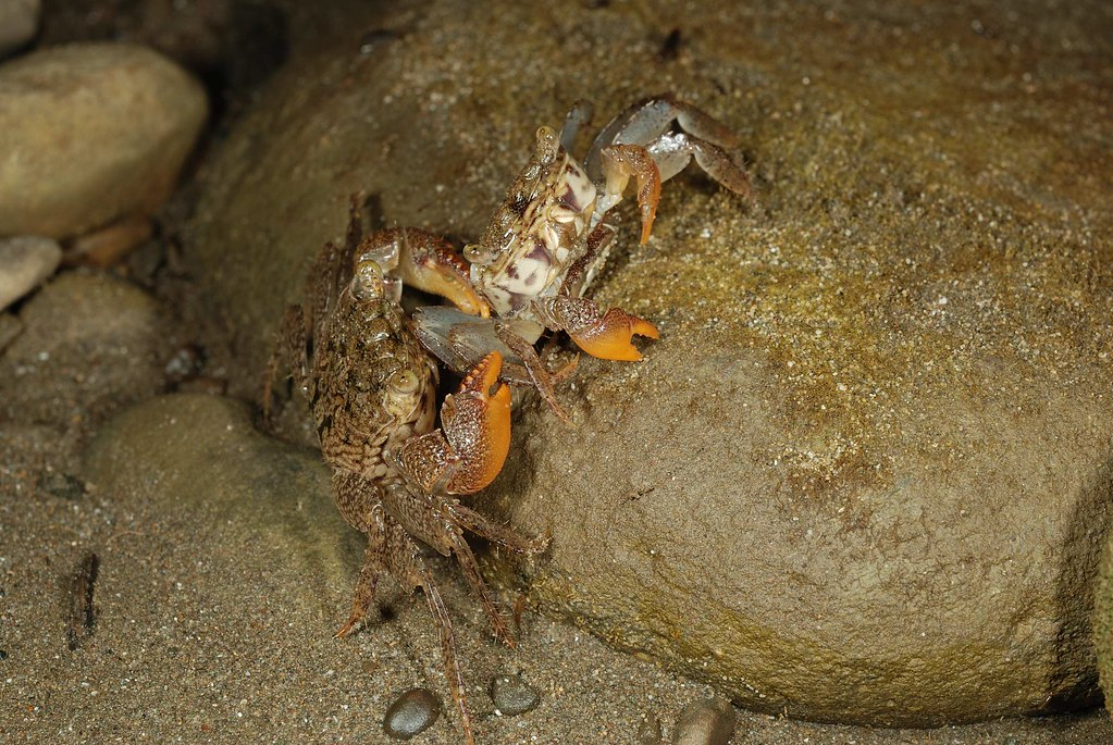 庫氏擬相手蟹3(團片來源:墾管處研究團隊)
