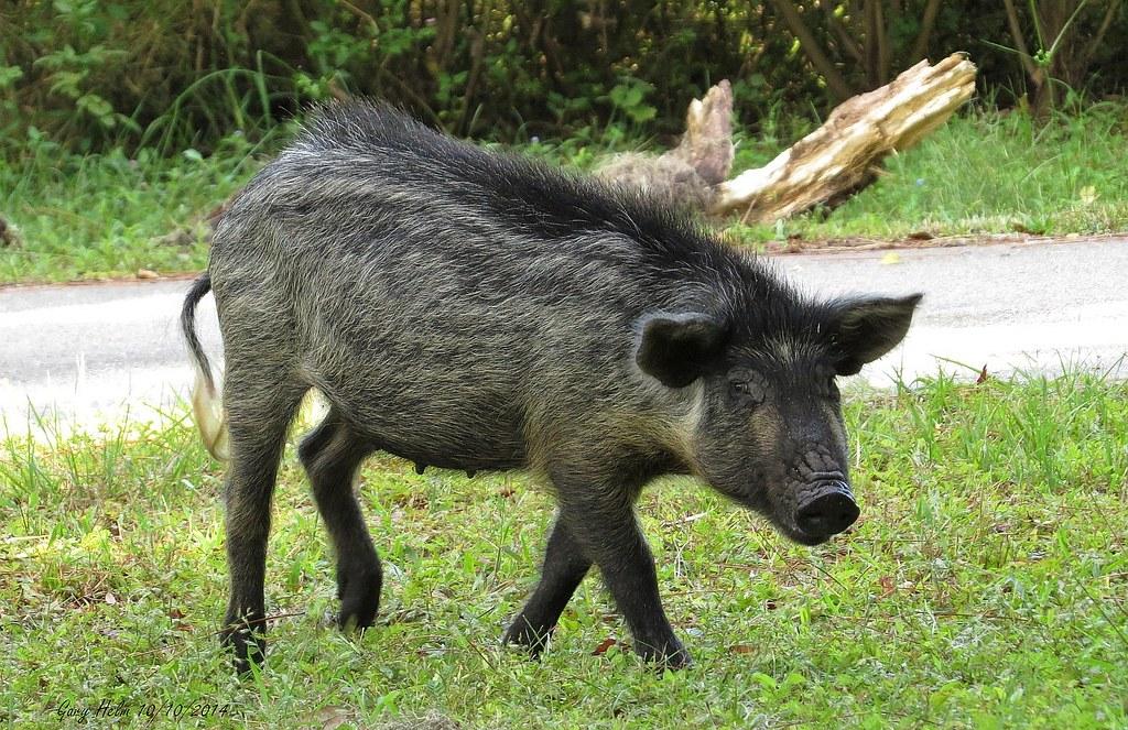 R Hogs Florida Wild (f...