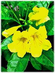 Closeup shot of beautiful yellow blossoms of Tecoma stans (Yellow Bells,Yellow Trumpetbush, Yellow Elder) with trumpet-shaped blossoms, 19 Nov 2013