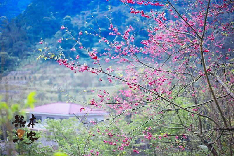 三峽竹崙私房賞櫻景點|熊空櫻花林|三峽媲美武陵農場櫻花林景點|竹崙路櫻花|北109鄉道櫻花林景點