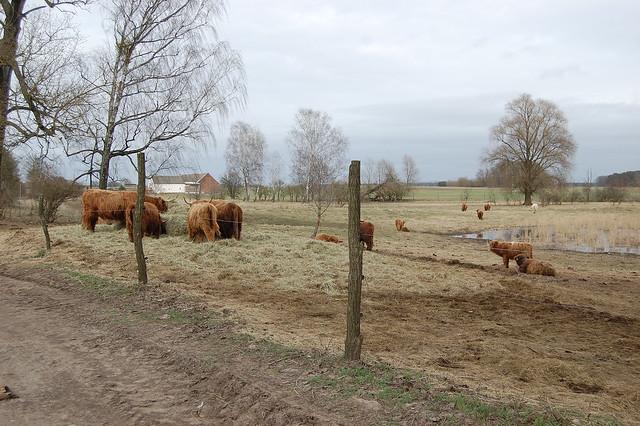 Bild: an einem Haufen Heu versammeln sich zottlige Highland Rinder mit langen Hörnern, weiter hinten ist ein Teich.