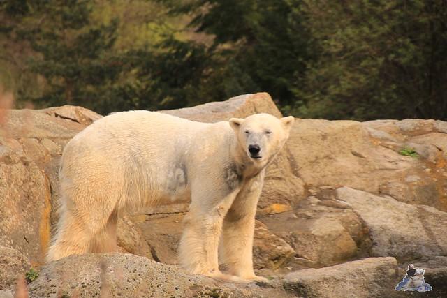 Lippenbär Nachwuchs 31.03.2017 im Zoo Berlin 050
