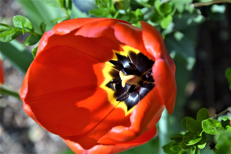 Tulips 05.04 (2)