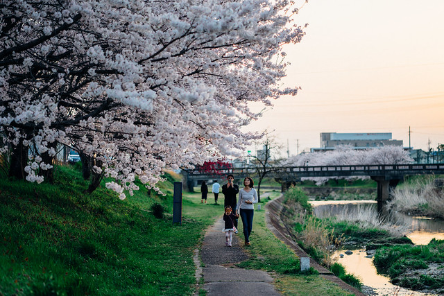 CherryBlossoms_22