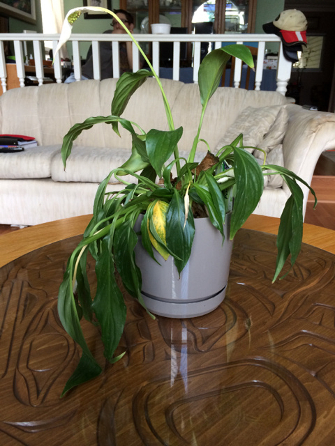 Spathiphyllum peace lily wilting due to root rot flickr for Peace lily betta fish