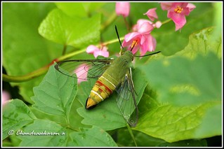 4530 - clearwing hawk moth | by chandrasekaran a 50 lakhs views Thanks to all.