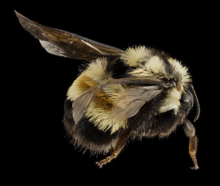 Bombus affinis, F, Sky meadows sp, virginia, back_2014-09-22-17.48.35 ZS PMax | by Sam Droege
