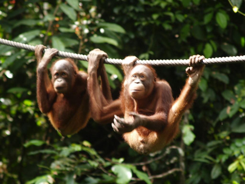 Vagamundos 2006. Sepilok orangutanes. Borneo. Malasia