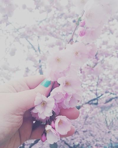 cherry blossom, kungsträdgården stockholm, april 2017