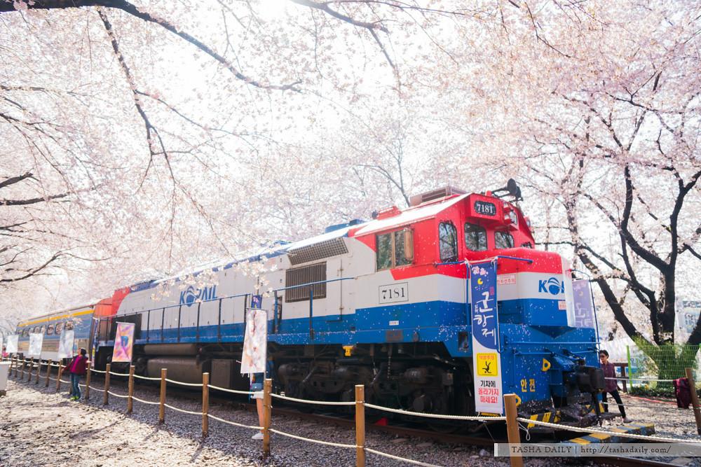 釜山自由行︱鎮海.慶和火車站~爆滿櫻花的絕美場景