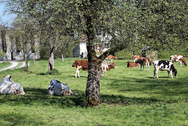 Cows 07.04 (16)